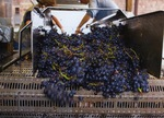 Grapes on a Conveyor Belt by Unknown