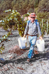 Ted Casteel Gathers Grapes for First Bethel Heights Harvest by Unknown