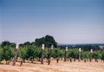 Vines at Elton Vineyards 01 by Unknown