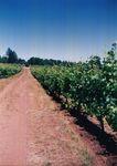 Vines at Elton Vineyards 02