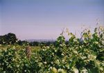Vines at Elton Vineyards 03 by Unknown