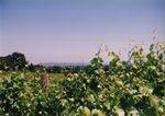 Vines at Elton Vineyards 03