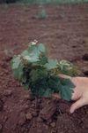 Elton Vineyards Planting 09