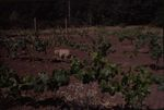 Dog in the Vineyards 01 by Unknown