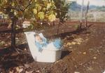 Girardet Baby in Vineyard