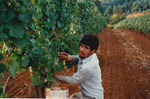 Vineyard Employee Harvesting Grapes