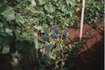 Pinot Noir 01