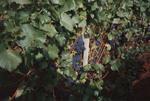 Pinot Noir 02