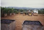 Pinot Noir Grape Harvest 01
