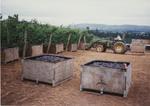 Pinot Noir Grape Harvest 02