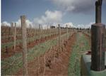 Dormant Vines 03