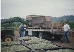 Riesling Grape Harvest 03
