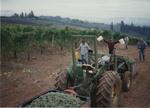 Riesling Grape Harvest 05