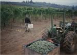 Riesling Grape Harvest 06