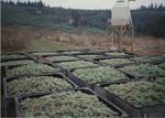 Riesling Grape Harvest 08