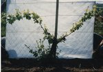 Grape Vine Development 01 by Unknown
