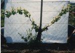 Grape Vine Development 01