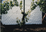 Grape Vine Development 02 by Unknown