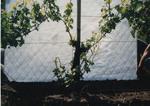 Grape Vine Development 02