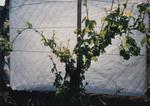 Grape Vine Development 03