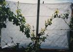 Grape Vine Development 04 by Unknown