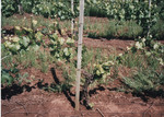 Infected Pinot Noir Plants 04