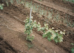 Infected Pinot Noir Plants 05 by Unknown